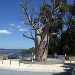 Australia-bum-tree